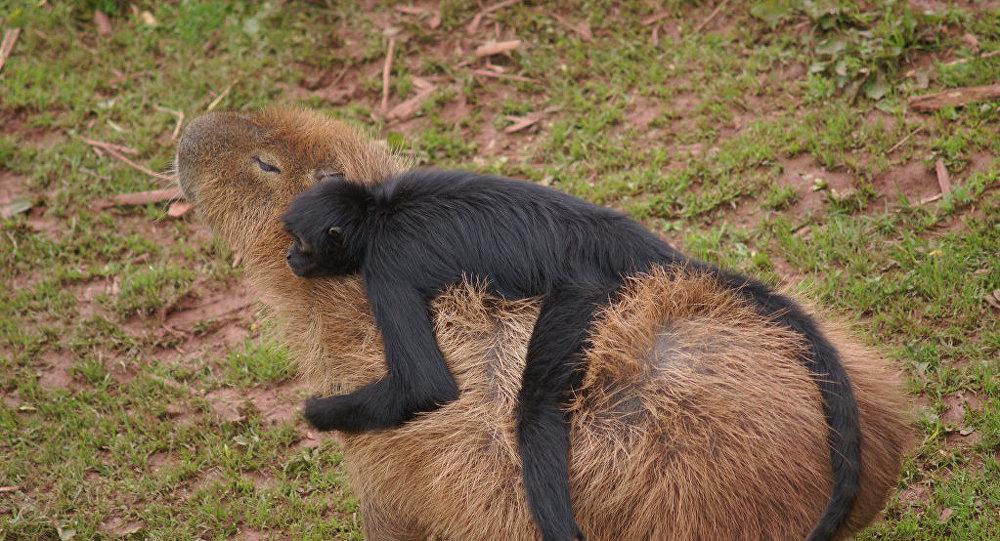 le capybara le meilleur ami des animaux sputnik france. Black Bedroom Furniture Sets. Home Design Ideas