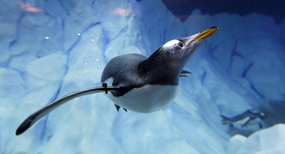 le plus ancien pingouin pr dateur retrouv par hasard au. Black Bedroom Furniture Sets. Home Design Ideas