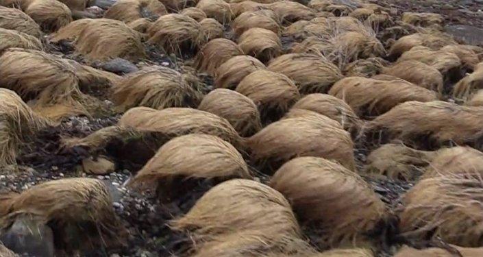 Une plantation de perruques de Donald Trump découverte en Norvège