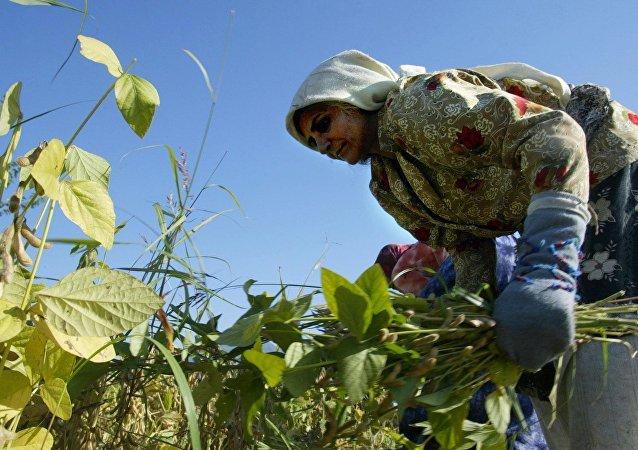 Une femme iranienne récolte des cultures de haricots dans une ferme près de la ville de Gorgan dans le sud-ouest de la province de Golestan, 397 km de Téhéran, le 30 Octobre 2004