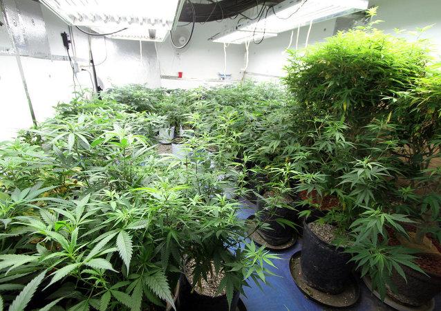 Une ferme de cannabis