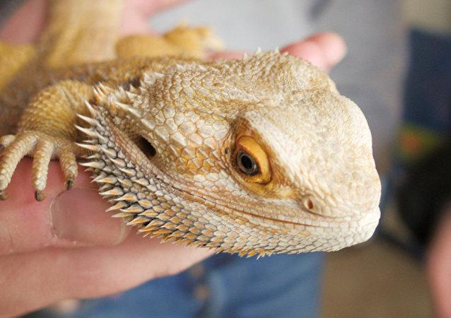 Iguane australien appelé dragon barbu