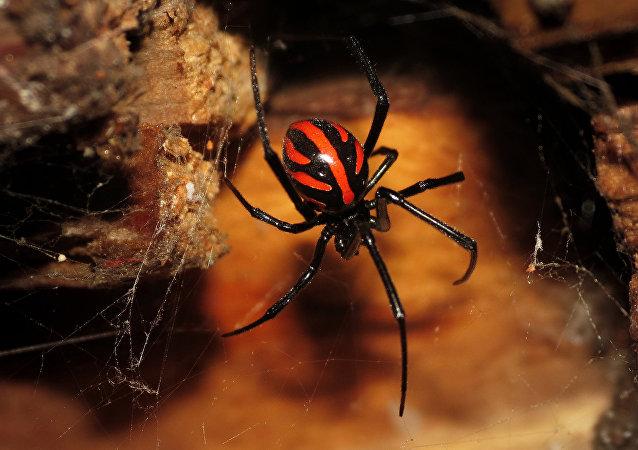 Latrodectus, veuve noire