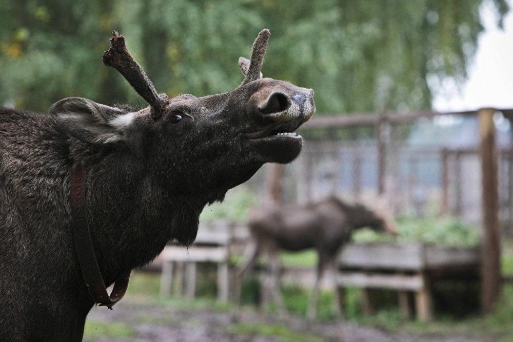 Ferme d'élevage d'élans russe