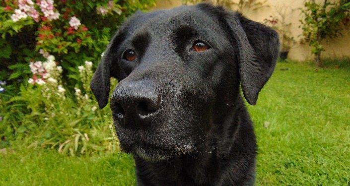 Un retriever du Labrador