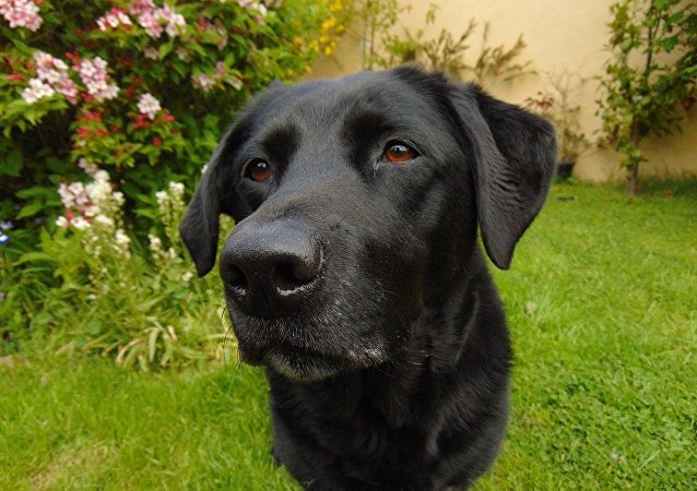 Un retriever du Labrador