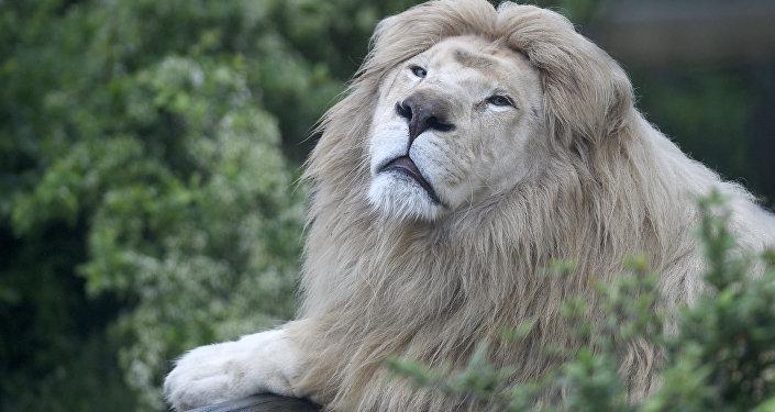 Voilà ce qui arrive quand on prend un lion pour un chat domestique (vidéo)