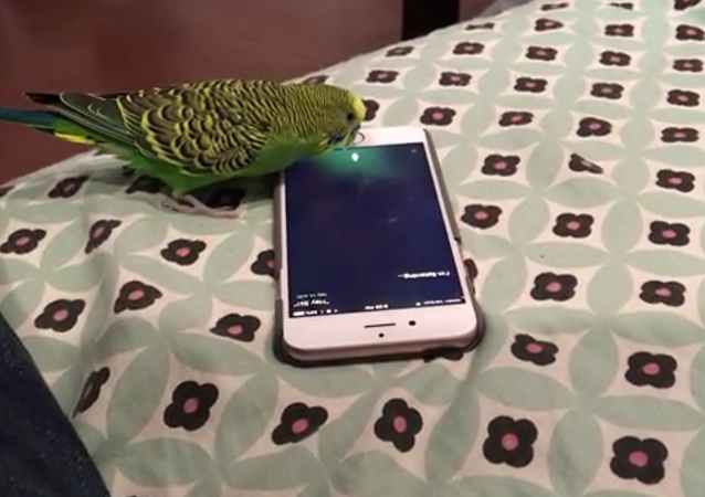 Un perroquet qui sait activer Siri