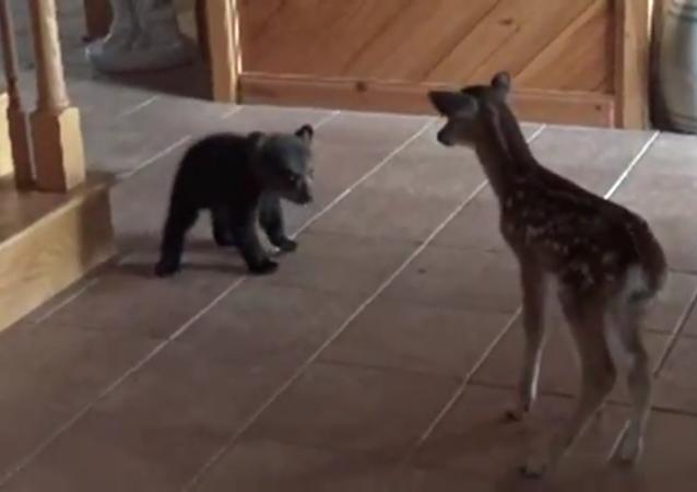 La première rencontre d'un ourson avec un faon