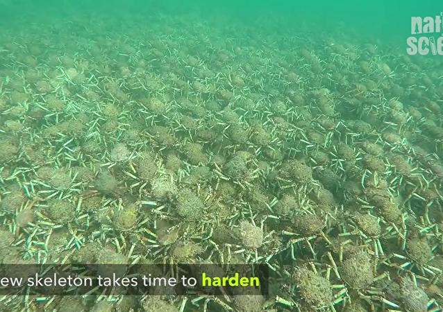 Une armée de crabes au large de l'Australie