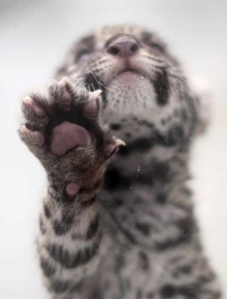 Les trois bébés jaguar sont nés au zoo de la ville mexicaine de Teotihuacan dans le cadre de la réalisation du programme de sauvegarde des populations menacées d'extinction