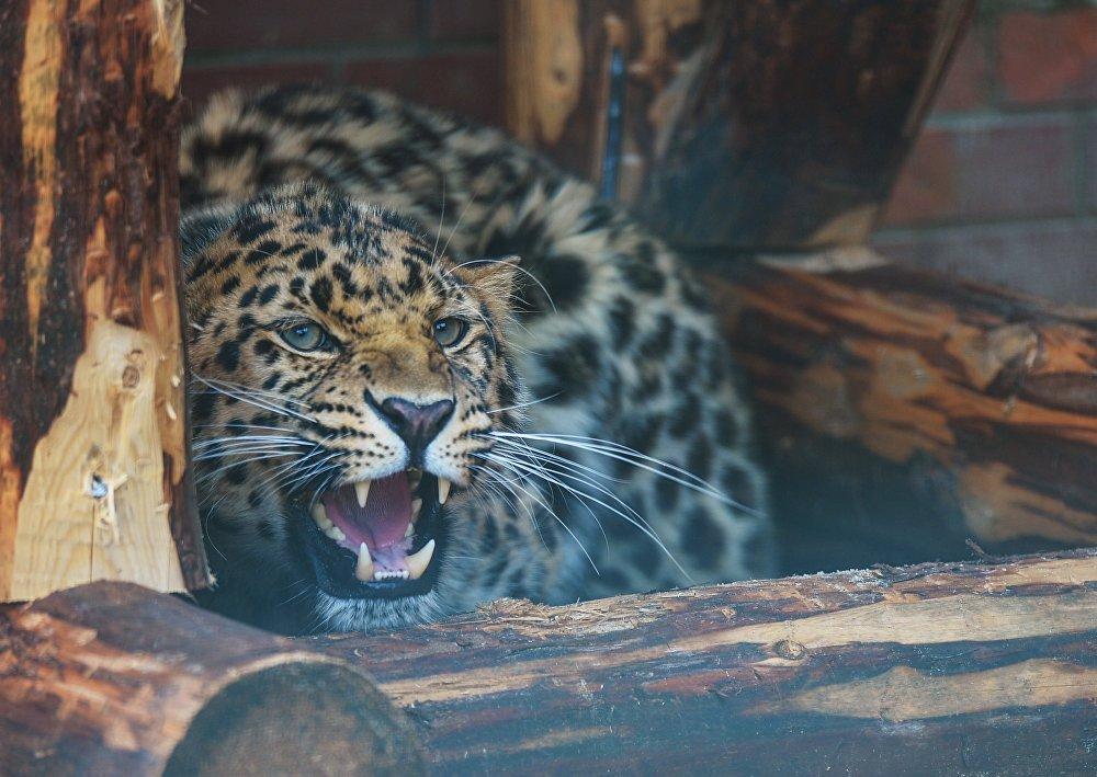Le léopard de l'Amour Nikolai sauvé par des douaniers russes des braconniers, l'été dernier, a été conduit au zoo de Moscou, où on lui a déjà choisi une fiancée