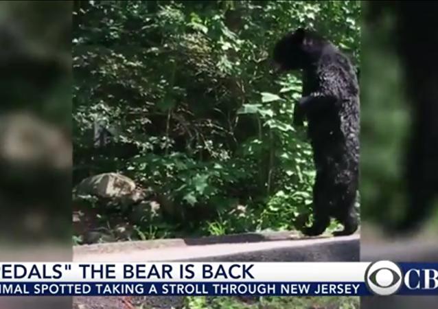 Un ours qui ressemble vraiment à un homme