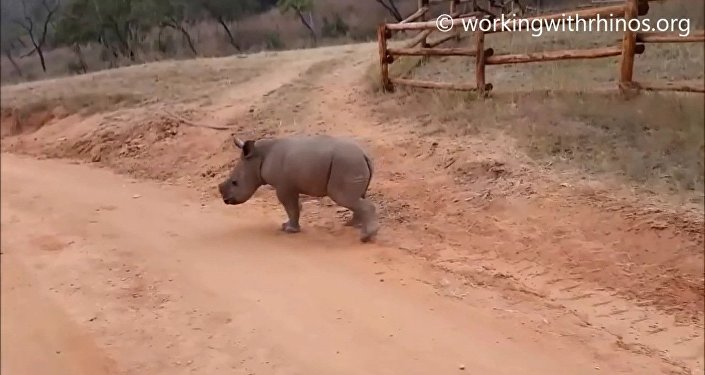 Walking baby rhino Warren - He knows his name!