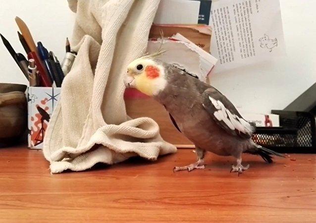 Un perroquet chante une chanson de la Famille Addams