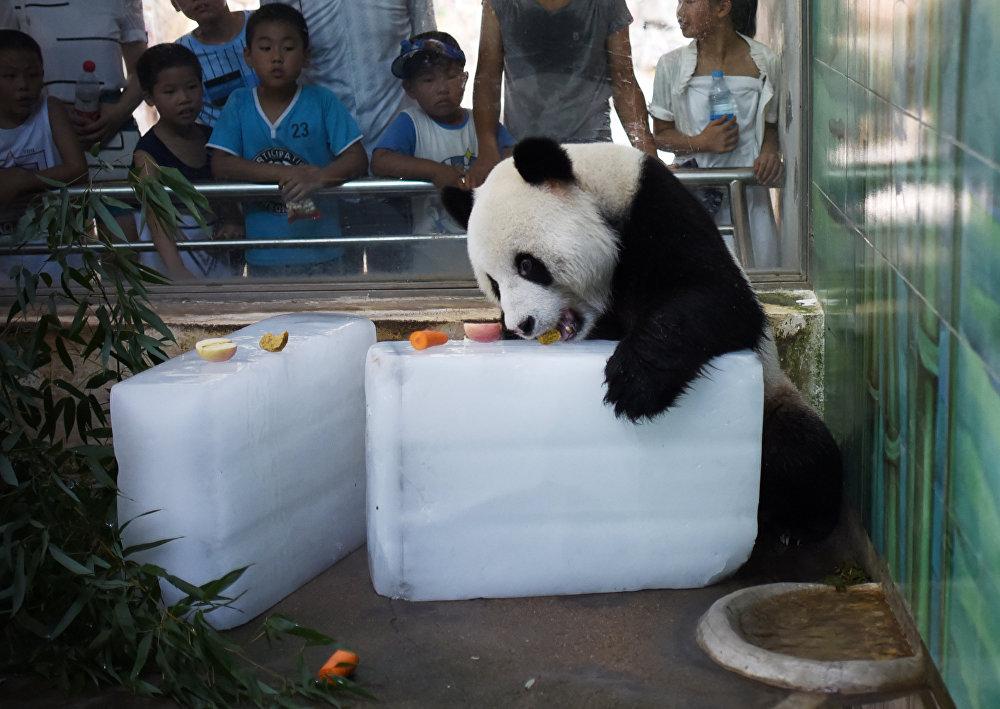 Dans le zoo chinois de la ville de Wuhan (province de Hubei), un panda se repose sur un cube de glace lors d'une chaude journée