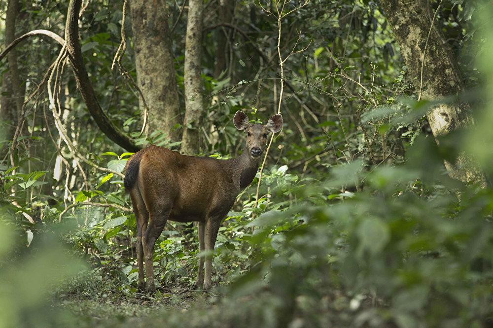 Un cerf sauvage dans le parc national de Kazirang (Etat indien d'Assam)