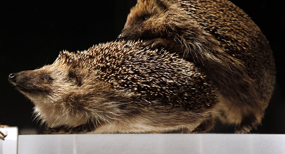 Hedgehogs copulation