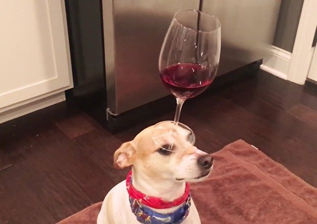 Dog Balances Red Wine in Wine Glass on Head
