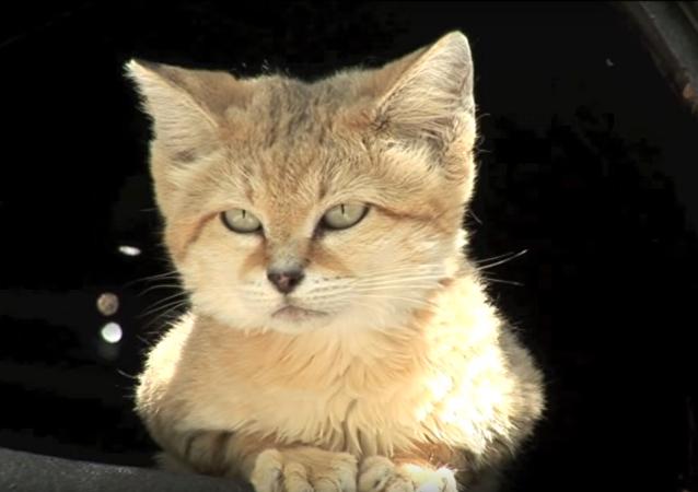 Des scientifiques observent pour la 1ere fois des chats buveurs de sang