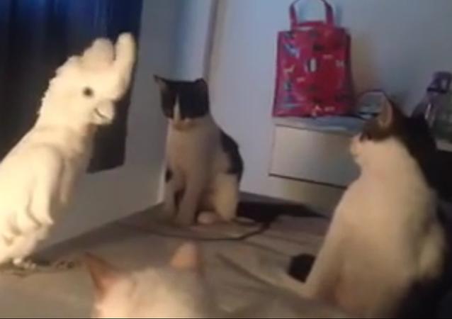 Quand un perroquet se prend pour un chat