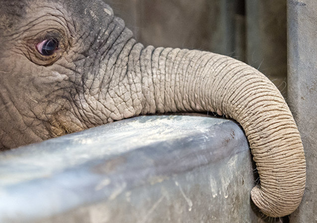 The male elephant baby looks out of their enclosure in Halle, eastern Germany, Friday, Aug. 5, 2016. The elephant was born on Aug. 3, 2016, and weights 105 kilograms