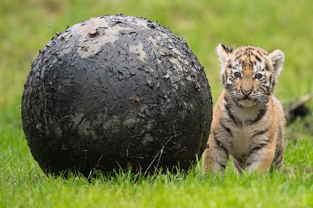 Ce bébé tigre est né début juillet au zoo de Duisbourg
