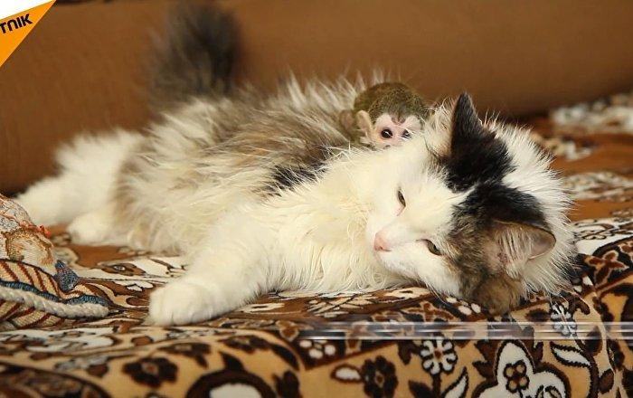 un b b singe adopt par une chatte sputnik france. Black Bedroom Furniture Sets. Home Design Ideas