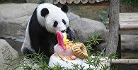 Un gâteau et des félicitations pour le 10e anniversaire d'un panda géant