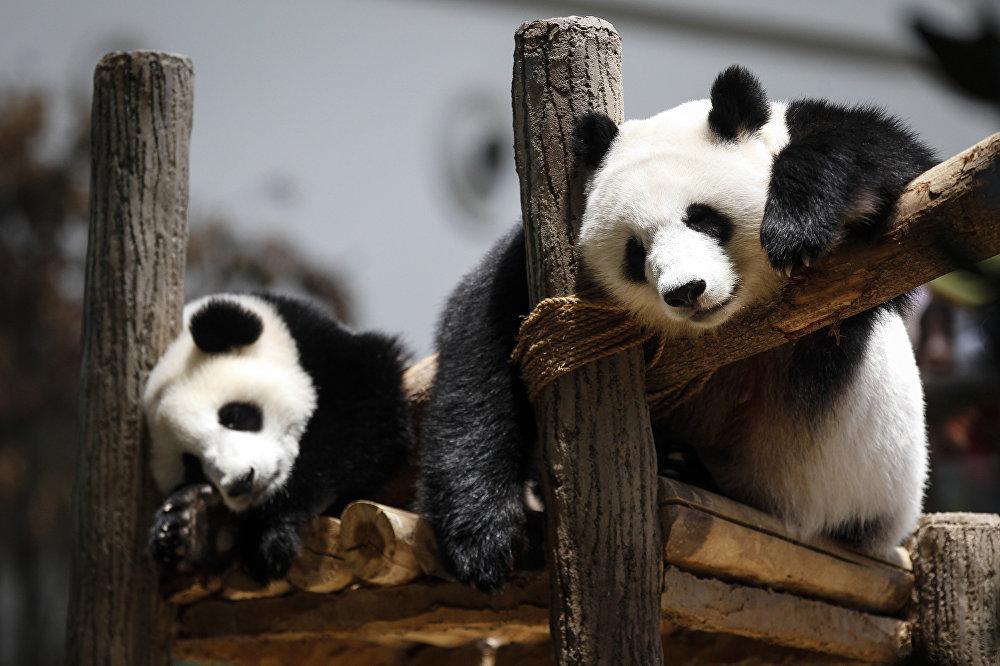 Le panda géant Feng Yi a célébré son 10e anniversaire dans le zoo Negara de Kuala Lumpur, en Malaisie