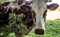 La filière laitière et la ronde de ses fossoyeurs