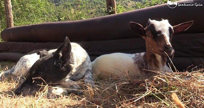 L'amitié entre une chienne et une chevrette fait fondre les internautes