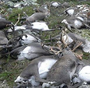 Des rennes sauvages tués par la foudre