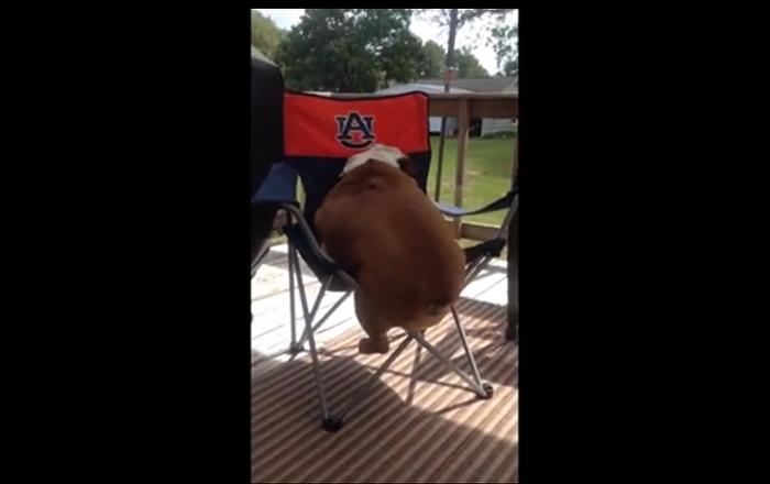 Le bulldog anglais qui n'arrive pas à grimper sur une chaise