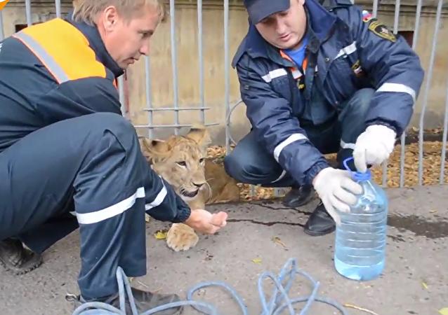 A qui est ce lionceau?