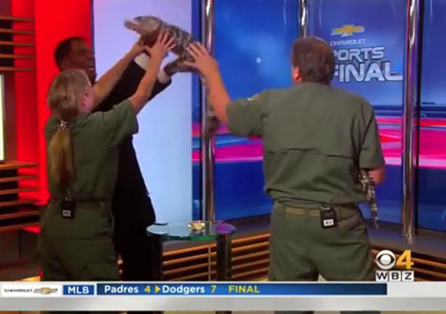 Un petit alligator fait peur à un animateur télé