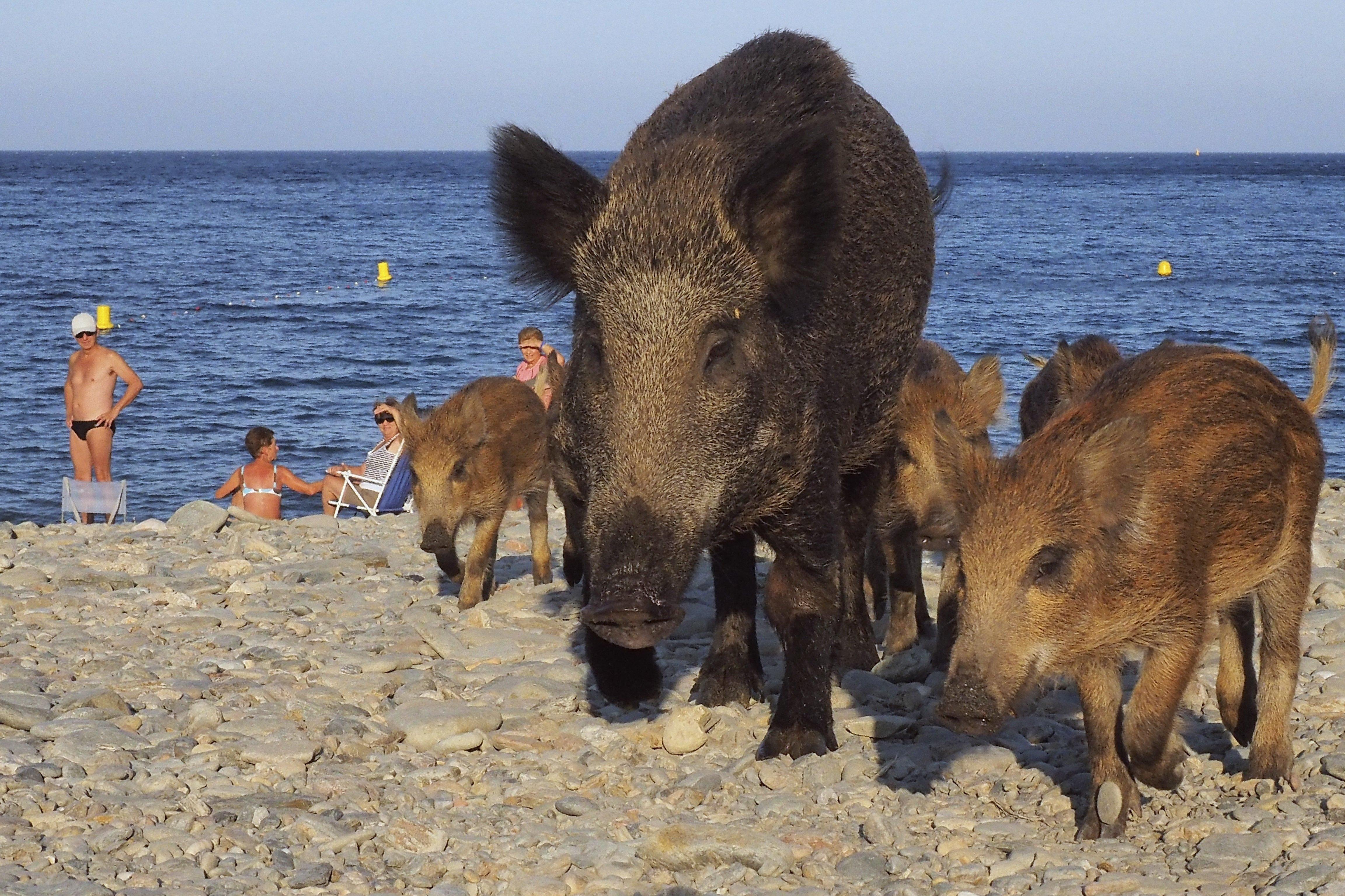 Une famille de sangliers sur une plage française