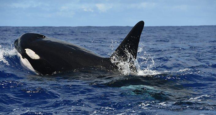 Une orque (image d'illustration)