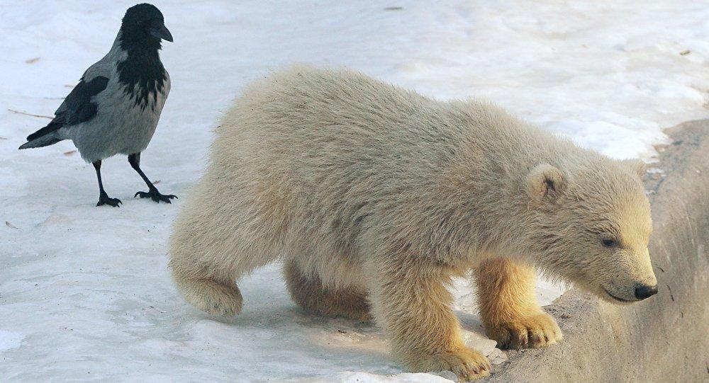 Des oursons blancs au zoo de Moscou