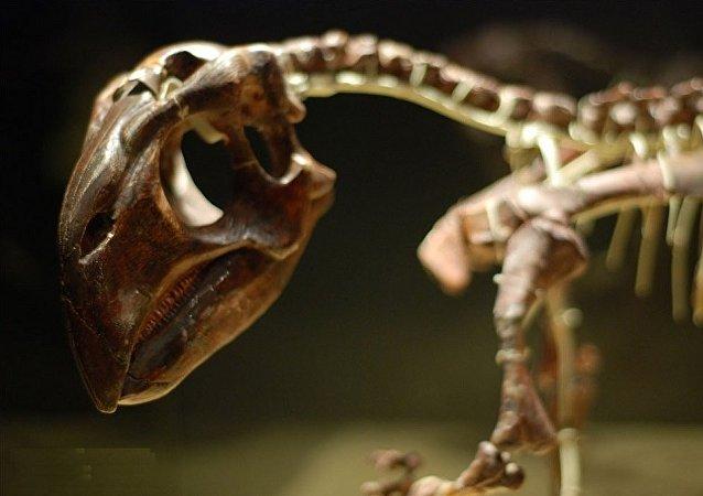 Psittacosaurus (dinosaure « perroquet »)