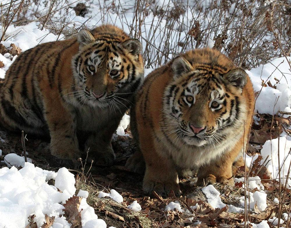Sa majesté le tigre!