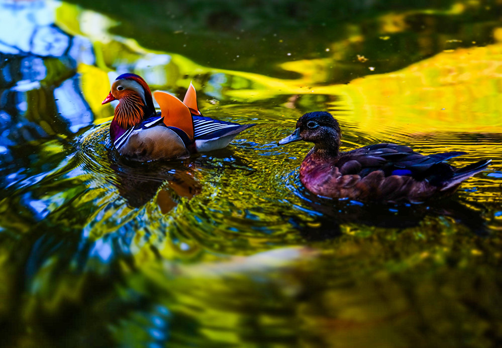 Des oiseaux dans le parc botanique de Terra Nostra sur l'île de San Miguel