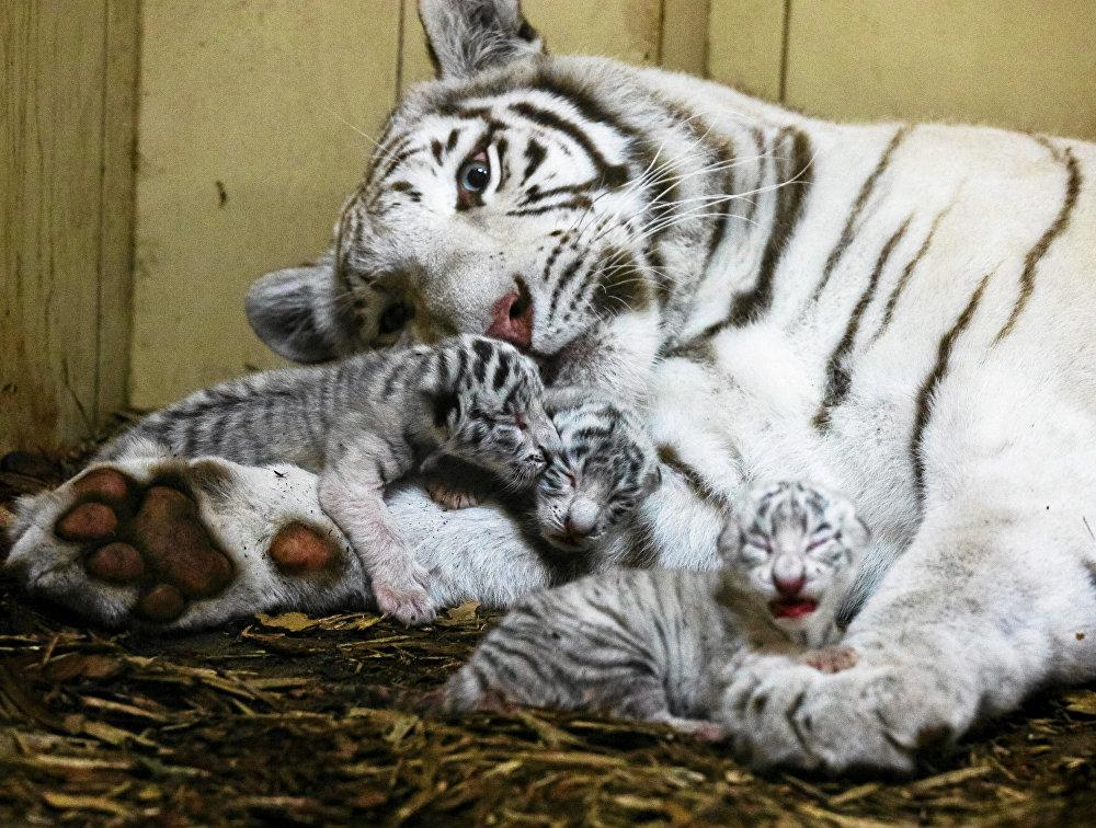 Une tigresse du Bengale dans un zoo privé aux alentours de la ville polonaise de Lodz