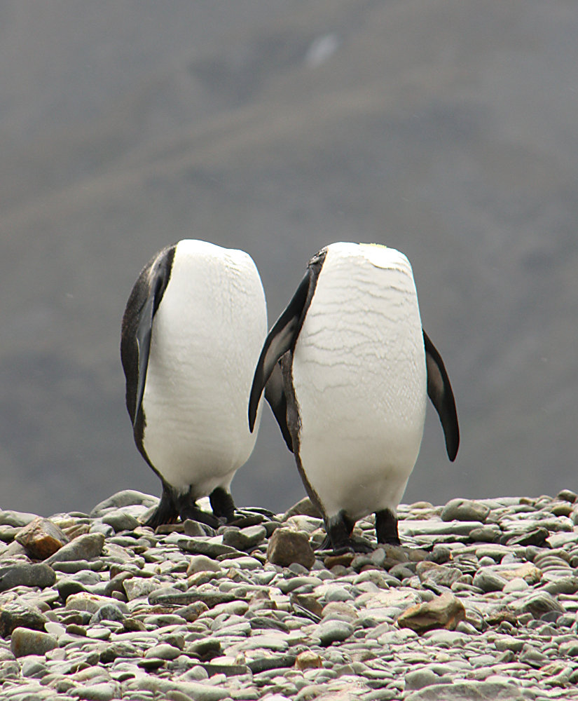 Two penguins appear to be walking headless