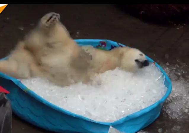 Une adorable oursonne polaire joue dans la glace