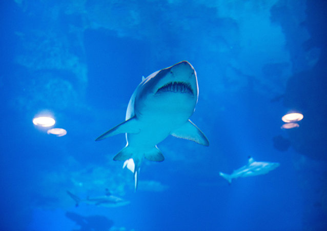 requin, image d'illustration