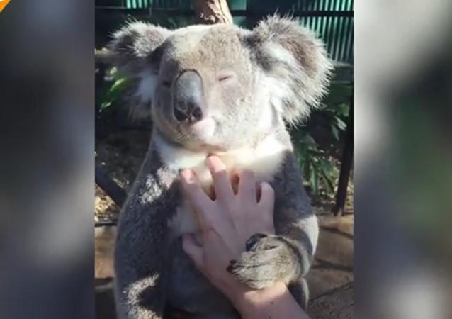 Ce koala sait comment se détendre !