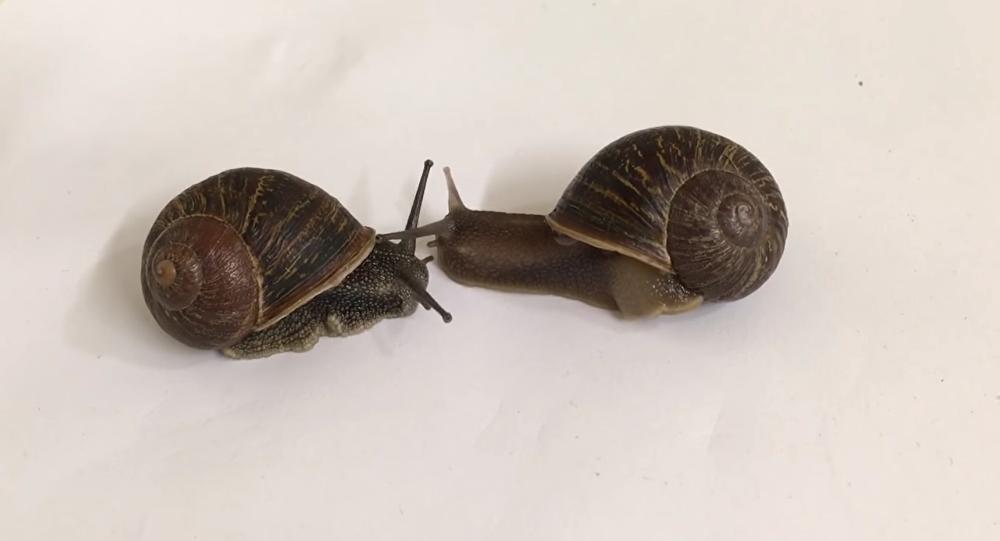 Un escargot gaucher