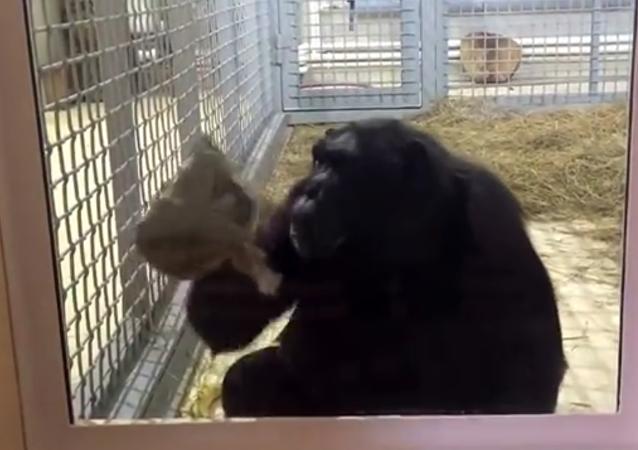 Un chimpanzé qui ne rechigne pas à la tâche