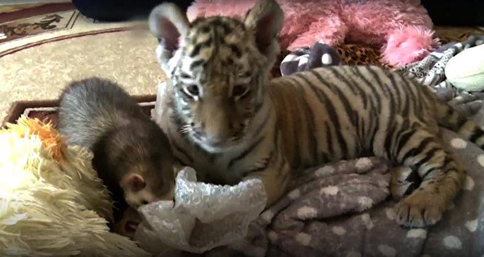 Le rejeton du tigre Amour s'est trouvé un ami insolite